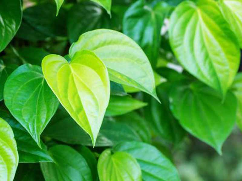 ramuan tahan lama oles alami daun Sirih